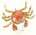 Kubla 4152O Crab Set of 3 Crab Ornaments - Orange