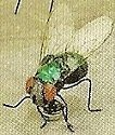Kubla 5644 Green Fly Set of 12 Pic B
